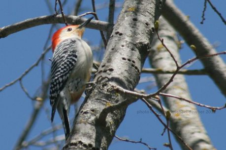 www allaboutbirds org guide browse aspx